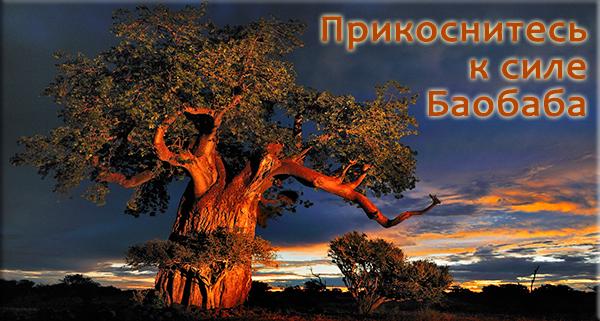дерево Baobab - основа Баобаб Лайф