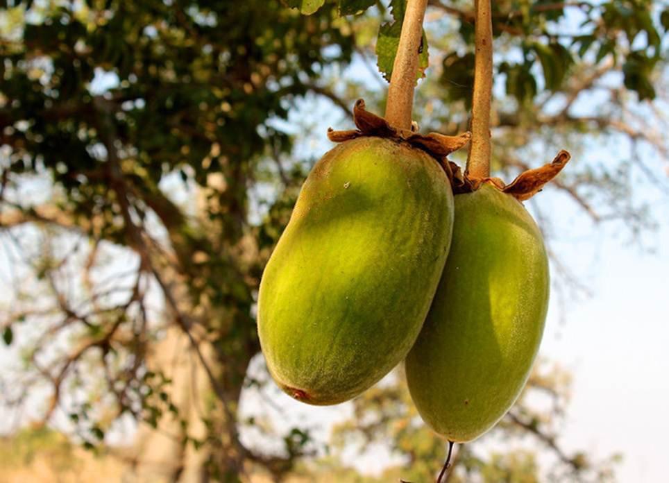 Незрелые плоды баобаба на дереве. Плоды баобаба напоминают огурцы или дыни, покрытые толстой мохнатой кожурой. Внутри плоды заполнены кисловатой мучнистой мякотью и жесткими растительными волокнами. -- Baobab-Fruits