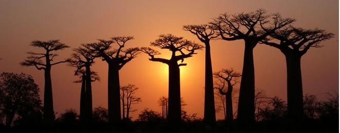 Baobab-preimuschestva