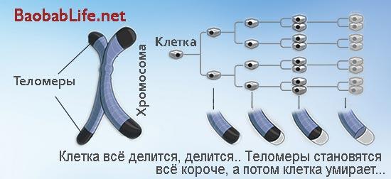 cell-telomere-illustration-for-jeunesse-finiti