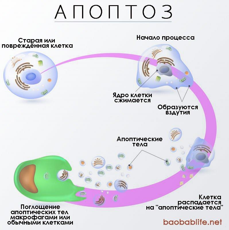 diagram-of-apoptosis-russian-png