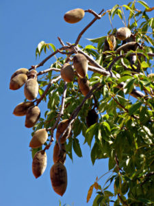 baobab-tree-with-fruits