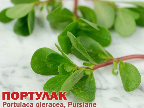 Растение Portulaca oleracea (Purslane)