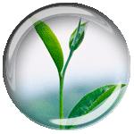 Росток чая png без фона (прозрачный фон)