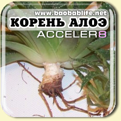 Алоэ - ингредиент Акселер8