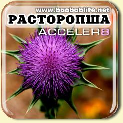Расторопша - ингредиент Акселер8