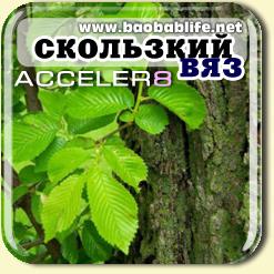 Скользкий вяз - ингредиент Акселер8